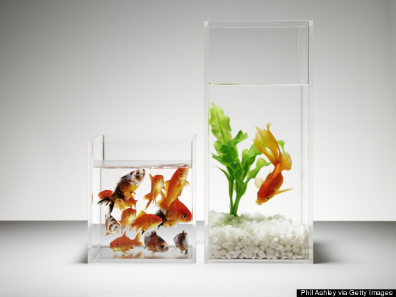 A crowded fish tank and a solo fish in another tank